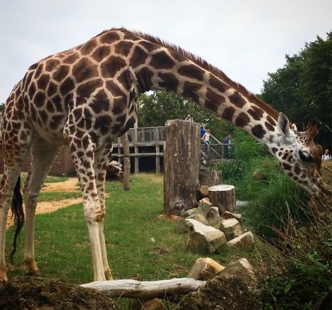 running, iceland, giraffe, london zoo, exercise, trail running, i love running, girls who run, exercise, workout, fitness, running blog, running tips, average runner, below average runner, sorry i've got to run, sophie o'gorman, fitfam,